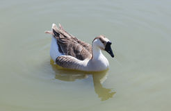 Заплывание гусыни в озере Стоковое Изображение