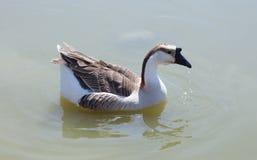 Заплывание гусыни в озере Стоковое фото RF