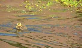 Заплывание гусыни гусыни младенца канадское в потоке самостоятельно Стоковые Фото