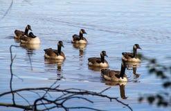 Заплывание гусыни Канады в озере стоковые изображения rf