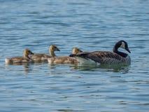 Заплывание гусыни Канады с 3 гусятами на озере Стоковая Фотография