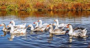 Заплывание гусыни на озере Стоковое фото RF