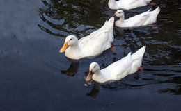 Заплывание гусыни утки на воде Стоковое Изображение RF
