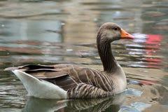Заплывание гусыни Greylag (anser Anser) Стоковое Фото