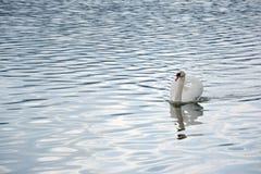 Заплывание лебедя в водах озера стоковая фотография rf