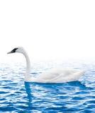 Заплывание лебедя в воде Стоковые Фото