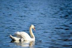 Заплывание лебедя в озере стоковая фотография