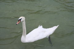 Заплывание лебедя Стоковое Изображение RF