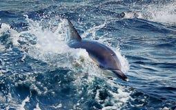 Заплывание дельфина в море с Тасмании Стоковые Фотографии RF