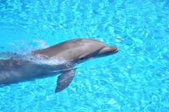 Заплывание дельфина Стоковое Фото