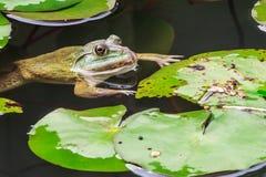 Заплывание жабы Commond в окружающей среде природы Стоковое фото RF