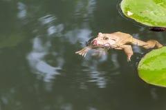 Заплывание жабы Commond в окружающей среде природы Стоковые Изображения