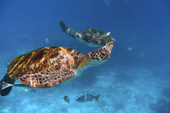 Заплывание зеленой черепахи в голубом океане Стоковое Фото