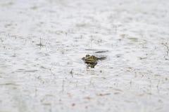 Заплывание зеленой лягушки в воде вставляя его сторону Стоковая Фотография