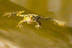 Заплывание зеленой лягушки в воде Стоковые Изображения