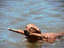 Заплывание золотистого Retriever Стоковое фото RF