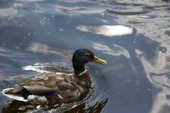Заплывание дикой утки в воде Стоковые Фото