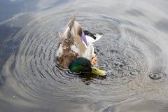 Заплывание дикой утки в воде Стоковые Фотографии RF