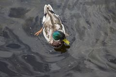 Заплывание дикой утки в воде Стоковые Изображения