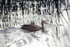 Заплывание дикой утки в воде Стоковое фото RF