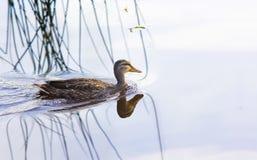 Заплывание дикой утки в воде Стоковое Изображение RF