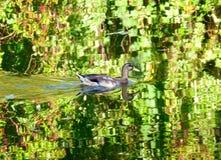 Заплывание дикой утки в воде Стоковое Изображение