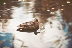 Заплывание дикой утки в пруде Стоковая Фотография RF