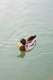 Заплывание дикой утки на пруде Стоковое Фото