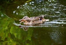 Заплывание дикой утки Стоковое Изображение RF