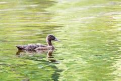Заплывание дикой утки Стоковое Изображение