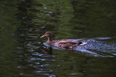 Заплывание дикой утки Стоковое фото RF