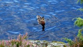 Заплывание дикой утки Стоковая Фотография