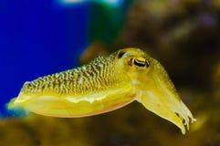 Заплывание кальмара Стоковое Изображение RF