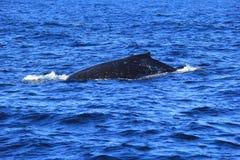 Заплывание кита горба заднее Стоковое Фото