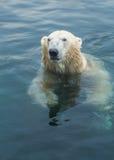 заплывание медведя приполюсное стоковое изображение rf