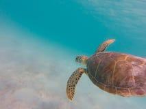 Заплывание морской черепахи в ясном карибском море Стоковые Фото
