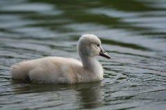 Заплывание молодого лебедя безгласного лебедя на пруде Стоковые Изображения RF