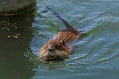Заплывание ондатры (Ondatra Zibethica) стоковая фотография