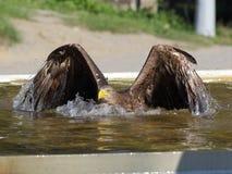 Заплывание орла моря в бассейне стоковое фото