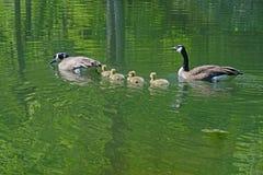 Заплывание пар гусыни Канады с их молодыми младенцами Стоковая Фотография RF