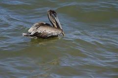 Заплывание пеликана Брайна в море Стоковое Изображение RF