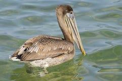 Заплывание пеликана Брайна в море Стоковые Изображения RF