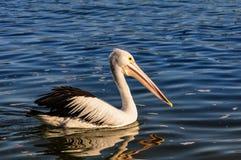 Заплывание пеликана в заливе жестяной коробки, Австралии Стоковая Фотография RF