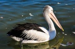 Заплывание пеликана в заливе жестяной коробки, Австралии Стоковое фото RF