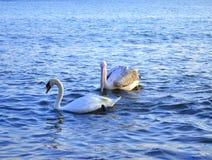 Заплывание пеликана и лебедя Стоковые Изображения