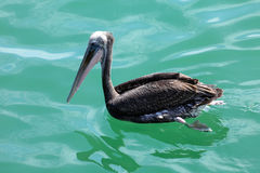 Заплывание пеликана Стоковая Фотография