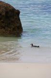 Заплывание пингвина в море, Южной Африке Стоковая Фотография