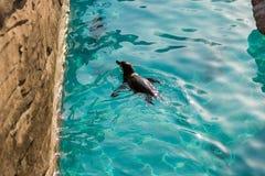 Заплывание пингвина младенца в бассейне Стоковое фото RF