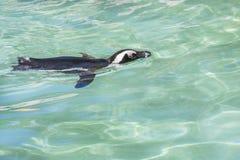 Заплывание пингвина Стоковые Изображения RF