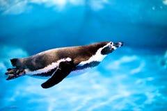 Заплывание пингвина Стоковые Фото